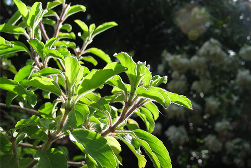 Things To Take Care While Planting A Tulsi At Home - Rgyan