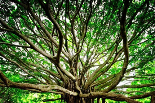 The Banyan Tree & its Mythological Significance - Rgyan