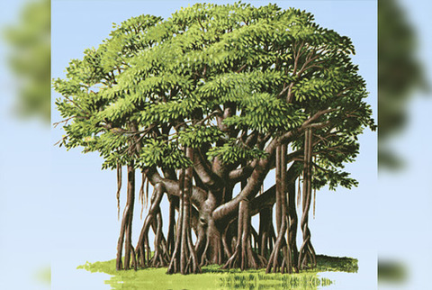 Banyan tree ,Significance of Banyan Tree ,Medicinal and Ayurvedic Uses ,How to grow a Banyan Tree