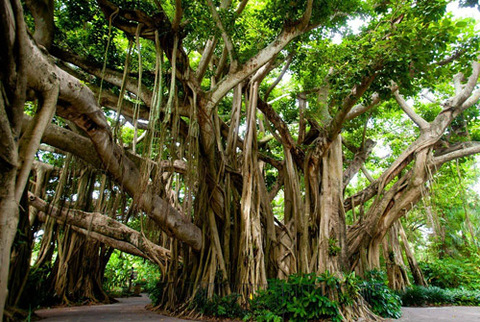 banyan tree ,significance of banyan tree ,medicinal and Ayurvedic Uses,How to grow a Banyan tree